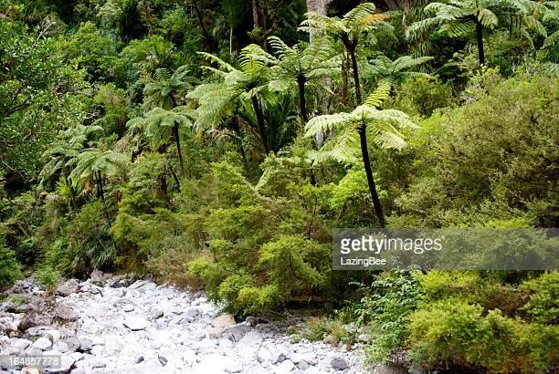 Punga Tree Ferns and Native Bush, New Zealand