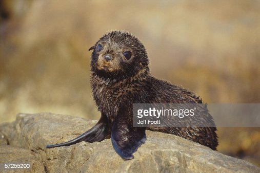 Pup Australian sea lion sits on rock . Noephoca cinerea. Southern Australia.