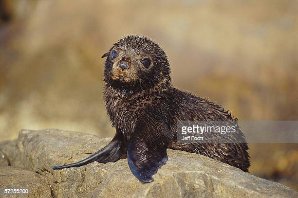 Pup Australian sea lion sits on rock . Noephoca cinerea. Southern Australia.