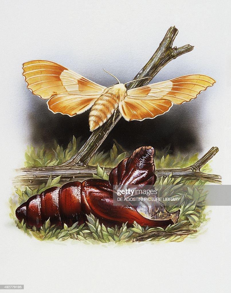 Pupa and adult of Oak hawk moth (Marumba quercus), Sphingidae. Artwork by Robin Carter.