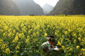 Pupils do their homework in a field of oilseed rape after school on March 13 2007 in Anshun Guizhou Province of China A total of 150 million rural...