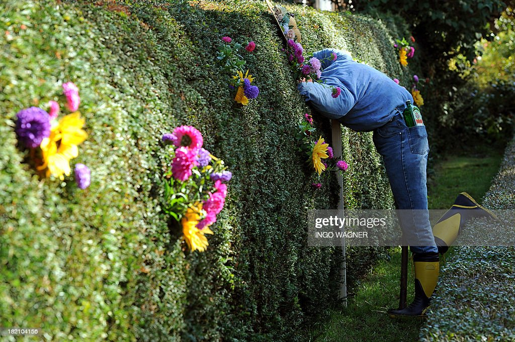 A puppet sticks her head through a hedge in Ottersburg, Germany on September, 28 2013. The street decoration looks deceptively authentic.