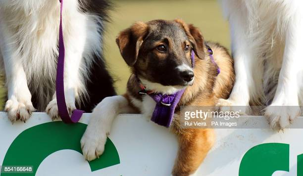 Puppie Tiff with other special rescue dogs all rehomed by Kennel Club Breed Rescue organisation Valgrays Border Collie Rescue and are taking part in...
