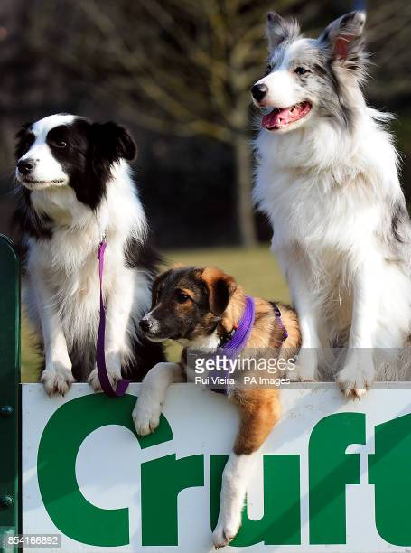Puppie Tiff with other special rescue dogs Holly and Frostie and Jimmy all rehomed by Kennel Club Breed Rescue organisation Valgrays Border Collie...