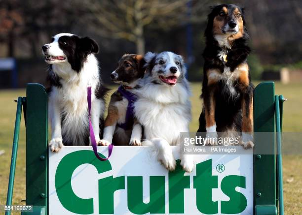Puppie Tiff with other special rescue dogs Holly Frostie and Jimmy all rehomed by Kennel Club Breed Rescue organisation Valgrays Border Collie Rescue...