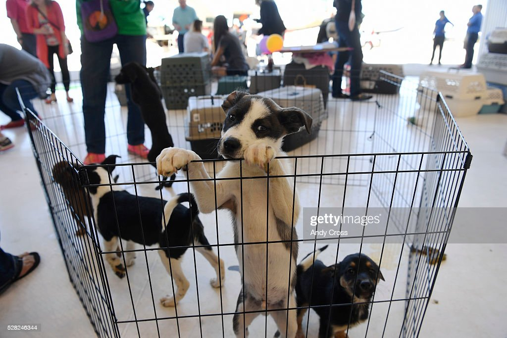 Puppies await their foster parents after being flown into Centennial Airport by the Dog is My Copilot organization May 04, 2016. Dog is My Copilot flew in over 90 rescue dogs and rescue cats from Texas and New Mexico to awaiting foster organizations at Centennial Airport May 04, 2016.