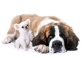 puppies chihuahua and saint bernard in front of white background