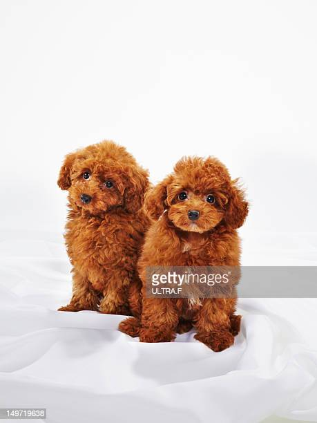 Puppies of Miniature Poodle