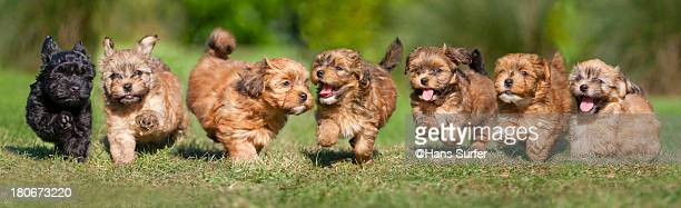 7 puppies running