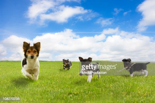 Puppies Running Through Green Field Against Blue Sky : Stock Photo