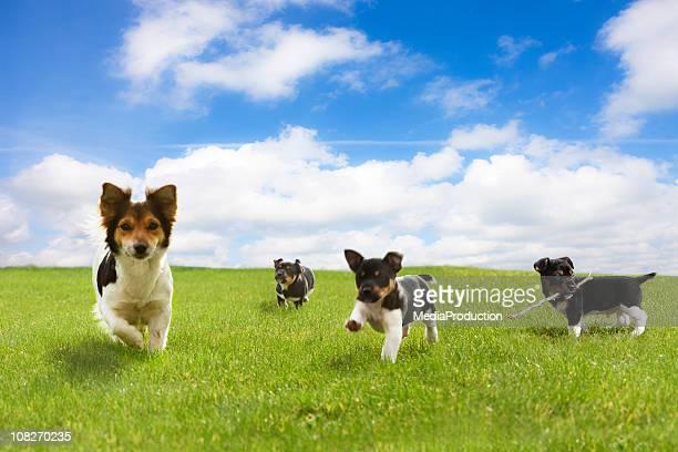 Cachorros correr através do Campo Verde contra o céu azul