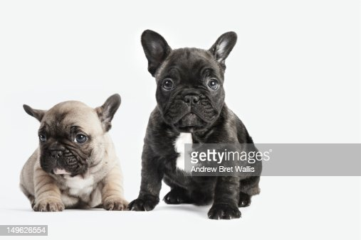 puppies seated together on a white background