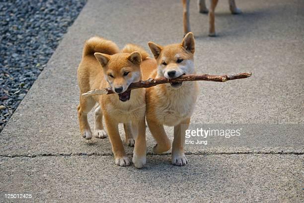 Puppies sharing stick
