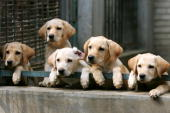 Puppies watch on at a police dog training base September 16 2005 in Beijing China The dogs are trained by a police squad to learn identifying...