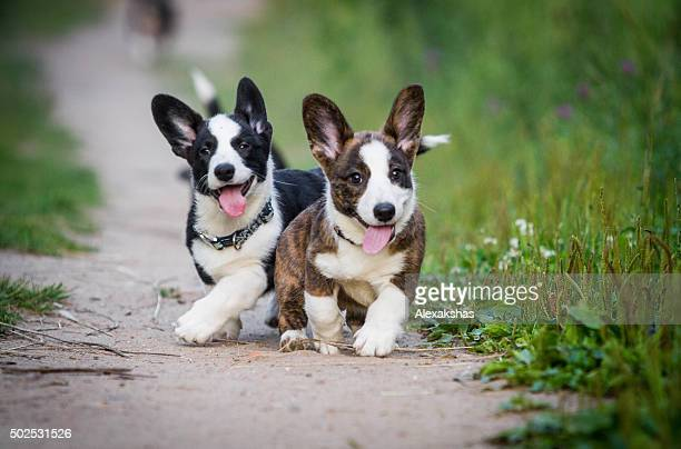 Corgi running around after each other and play together