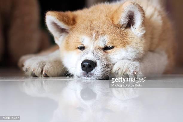 Puppy Akita sleeping on the floor