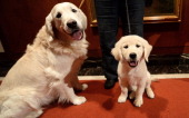 A puppy and adult Golden Retriever pose as the 2013 most popular dog breeds in the US are unveiled to the press at the American Kennel Club in New...