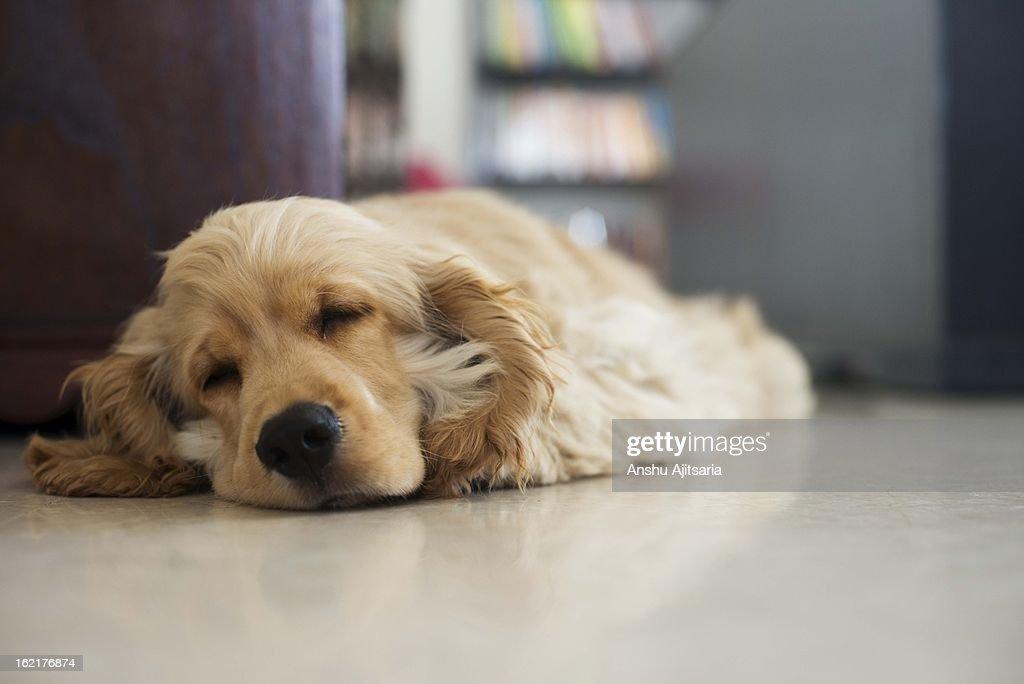Puppy asleep on a marble floor : Stock Photo