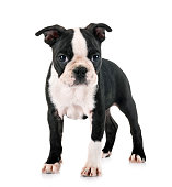 puppy boston terrier in front of white background