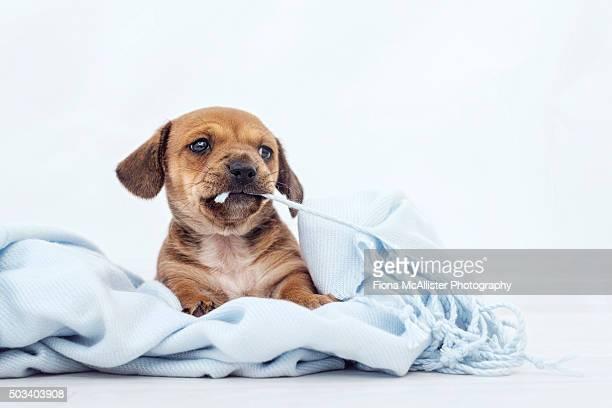 Puppy Chewing Blanket