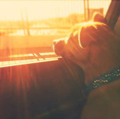 Puppy dog in car head out window sunset sunshine