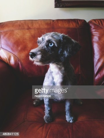 Puppy dog sitting on couch : Stock Photo