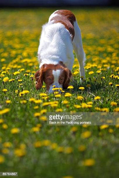 Puppy dog sniffing yellow flowers in field