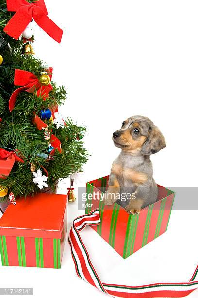 Chiot à Noël