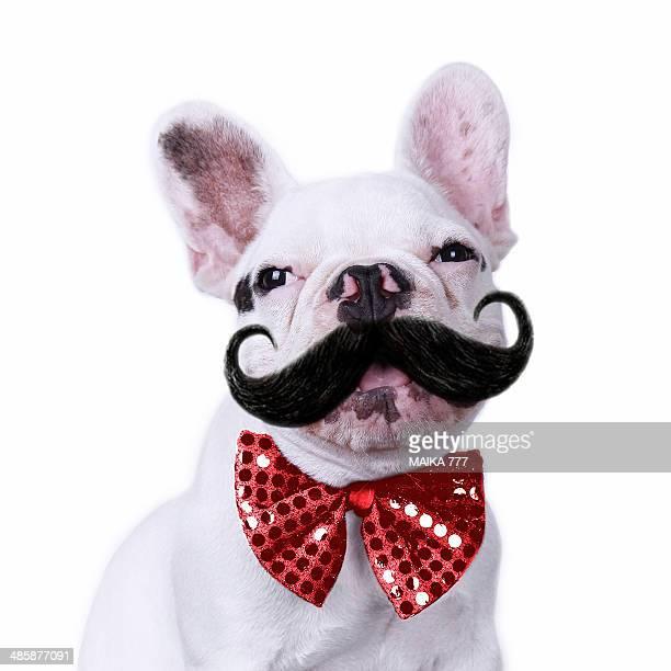 Puppy French Bulldog white