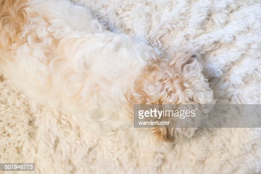 Puppy fur blends into fluffy white rug