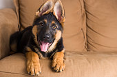Cute puppy German Shepherd dog sitting in a sofa and looking straight in the lens.