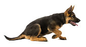 Puppy german shepherd getting up on white background