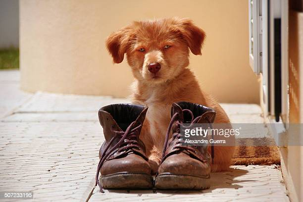 Puppy guarding pair of old boots