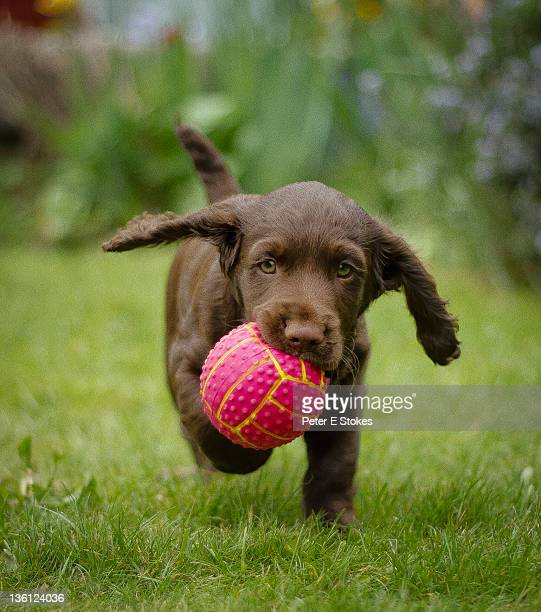 Puppy holding ball in mouth
