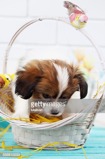 puppy in a basket : Stock Photo