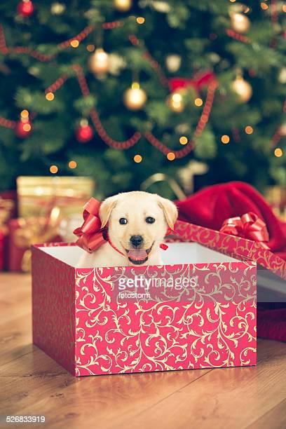Welpen in einem Weihnachtsgeschenk