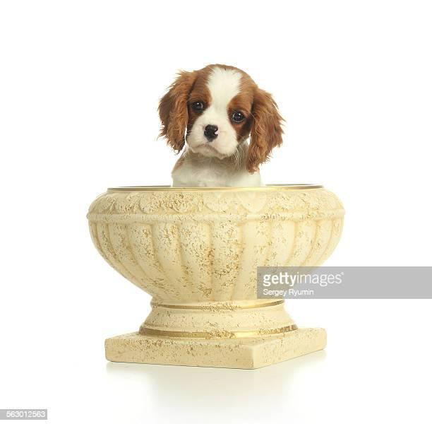 Puppy in a vase.