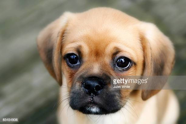 Puppy looking into camera