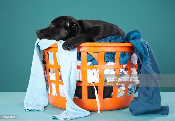 Puppy lying in laundry basket