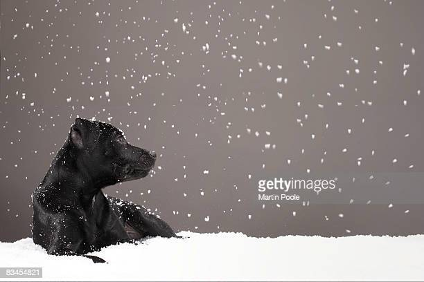 Puppy lying in snow watching snowflakes