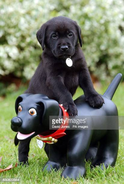 Puppy 'Merlin' leads his mentor by the nose Six weeks old guide dog puppy 'Merlin' meets children's cartoon character 'Merlin the Magic Puppy' at the...