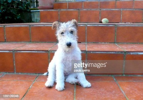 puppy of fox terrier : Stock Photo