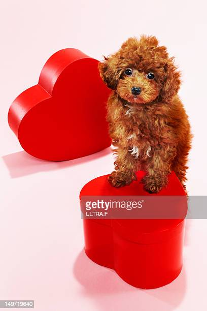 Puppy of Miniature Poodle
