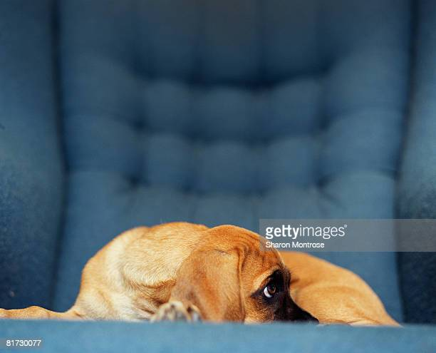 Puppy on chair