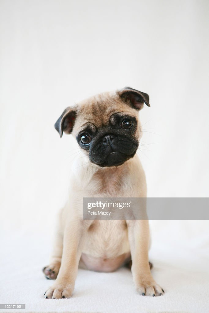 Puppy on plain background