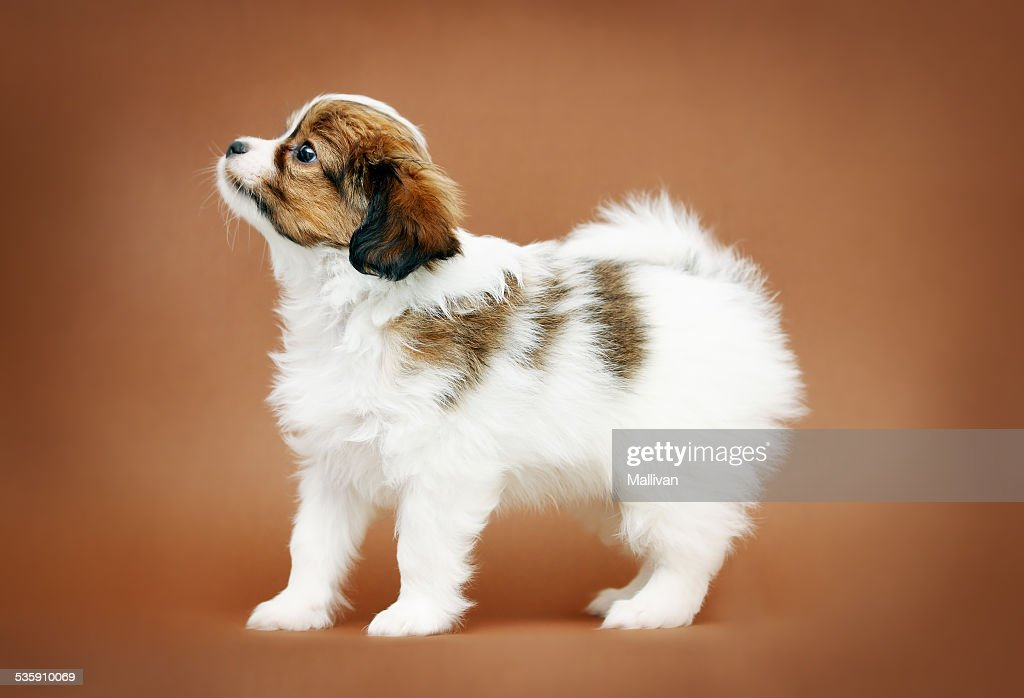 Perfil de pie de cachorro papillón : Foto de stock