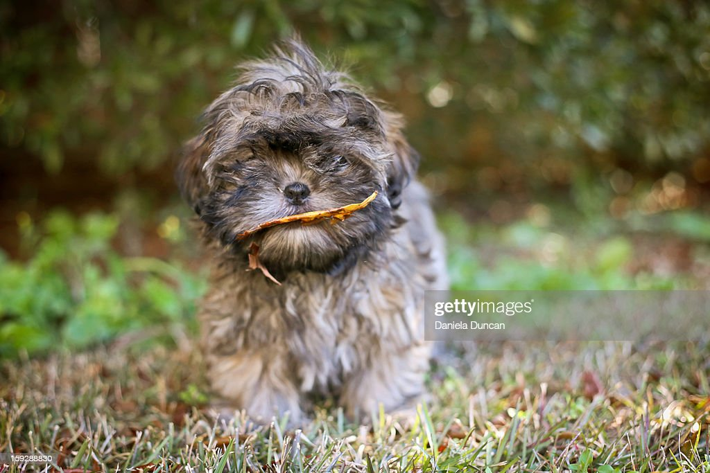 Puppy playing in the backyard : Stock Photo