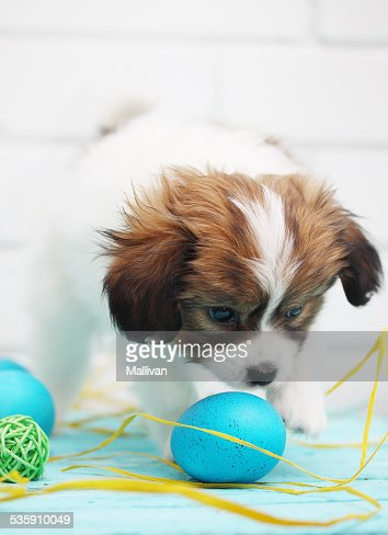 puppy playing with eggs : Stock Photo