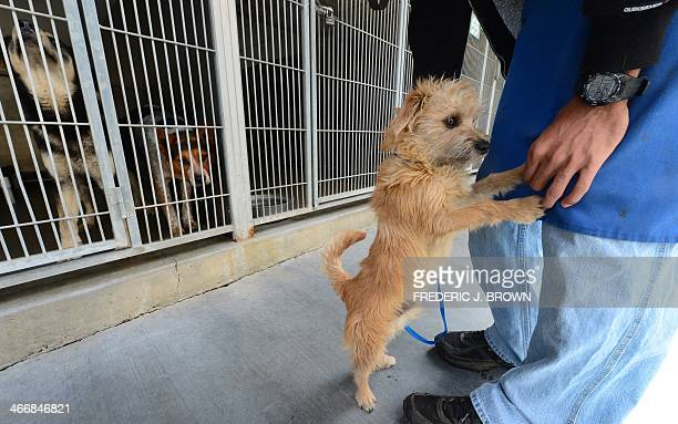 A puppy reacts to loud barking from dogs in their cage at the San Bernardino City Animal Shelter in San Bernardino California on February 4 where the...