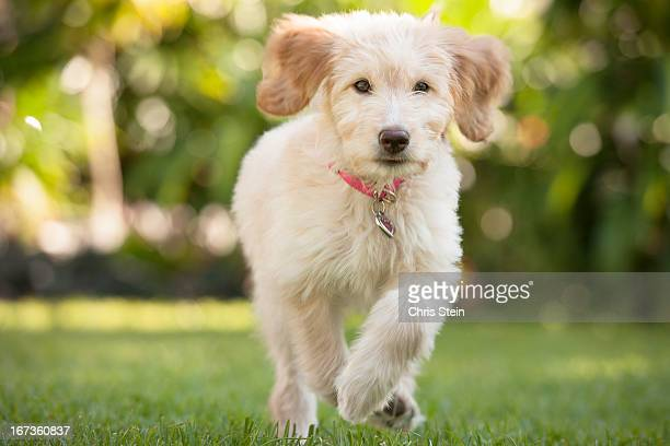 Puppy running through the grass